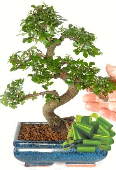 Yaklaşık 25 cm boyutlarında S bonsai  İstanbul Kadıköy çiçek siparişi sitesi