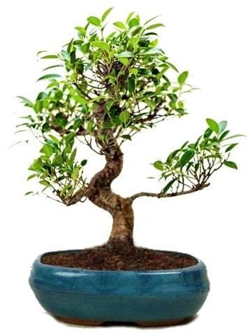 25 cm ile 30 cm aralığında Ficus S bonsai  İstanbul Kadıköy çiçek gönderme sitemiz güvenlidir