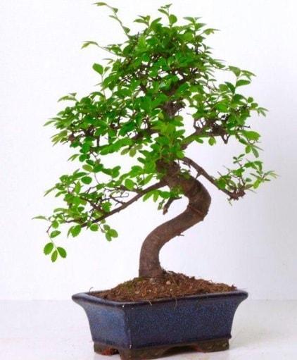 S gövdeli bonsai minyatür ağaç japon ağacı  İstanbul Kadıköy çiçek gönderme sitemiz güvenlidir