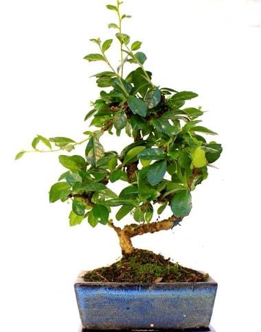 S gövdeli carmina bonsai ağacı  İstanbul Kadıköy çiçek yolla  Minyatür ağaç