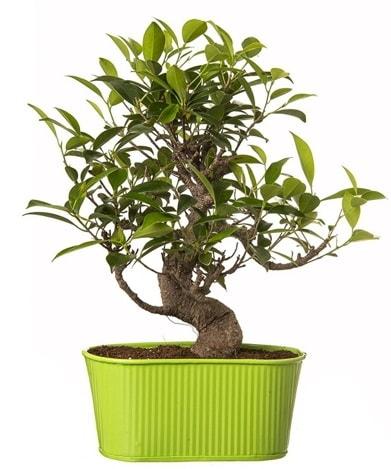 Ficus S gövdeli muhteşem bonsai  İstanbul Kadıköy çiçek siparişi sitesi