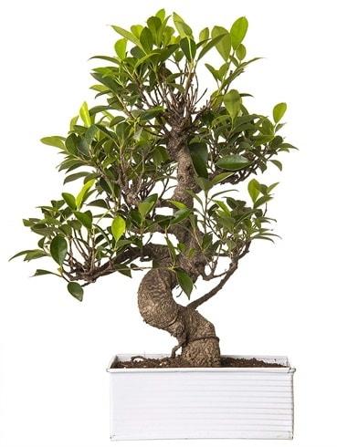 Exotic Green S Gövde 6 Year Ficus Bonsai  İstanbul Kadıköy çiçek gönderme sitemiz güvenlidir